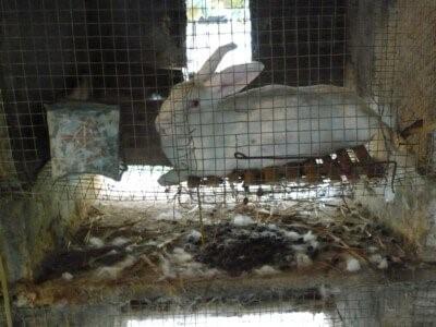 حقایق صنعت خز - خرگوشها در مزارع خز